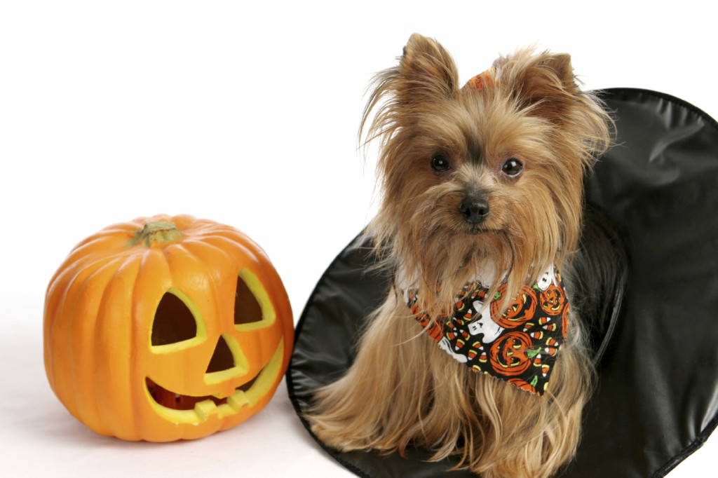 Halloween Pet Safety Tips – Doody Calls Charlotte