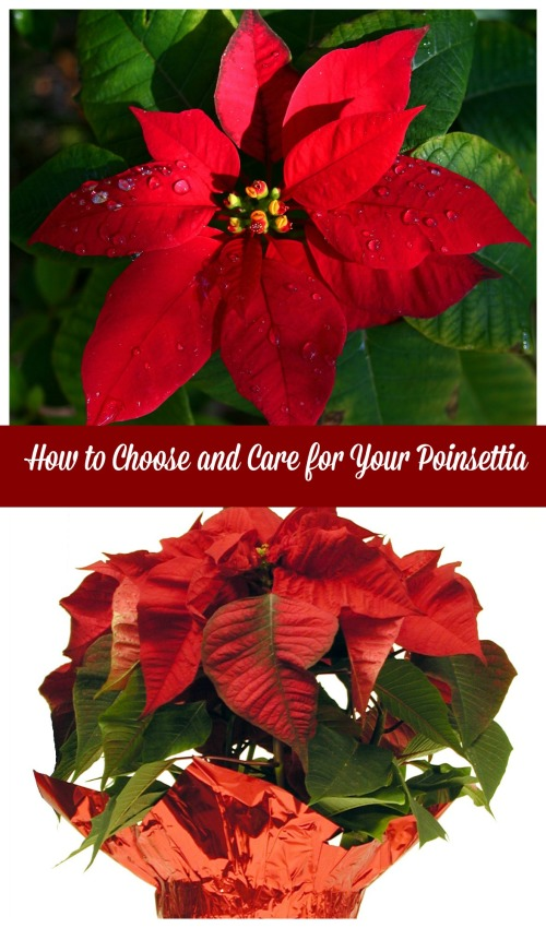 how to care for a poinsettia