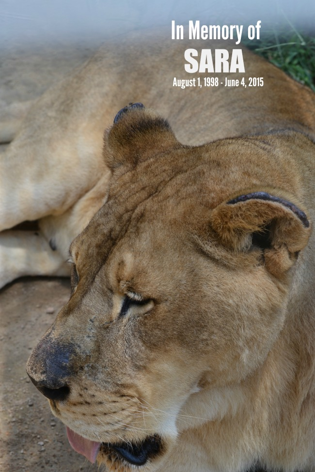 Suzies Pride, Big Cat Sanctuary