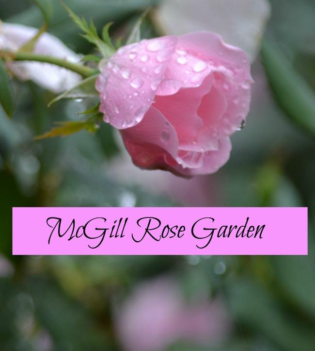 McGill Rose Garden Charlotte