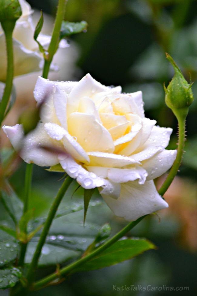 McGill Rose Garden Charlott