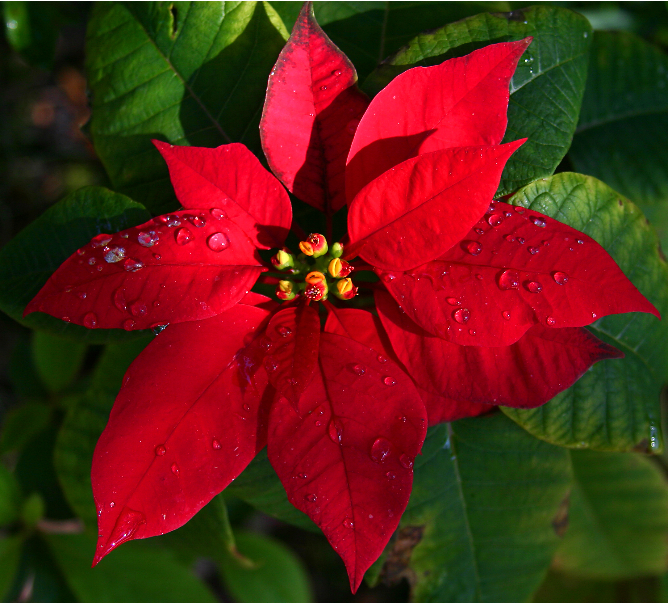 The Poinsettia Fun Facts And How To Care For The