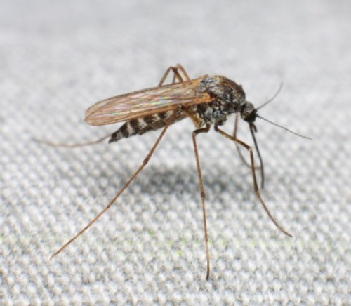 Deadliest Animals on Earth – Mosquitoes