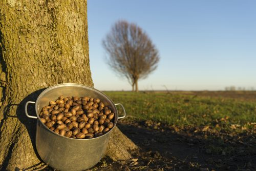 The Story Behind the Pecan